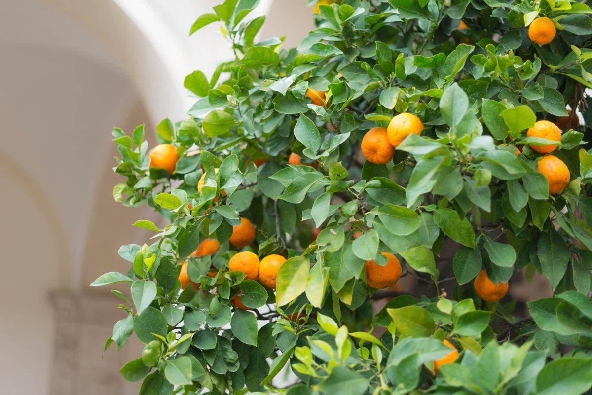 Les orangers de Tivoli   | SP4NK BLOG