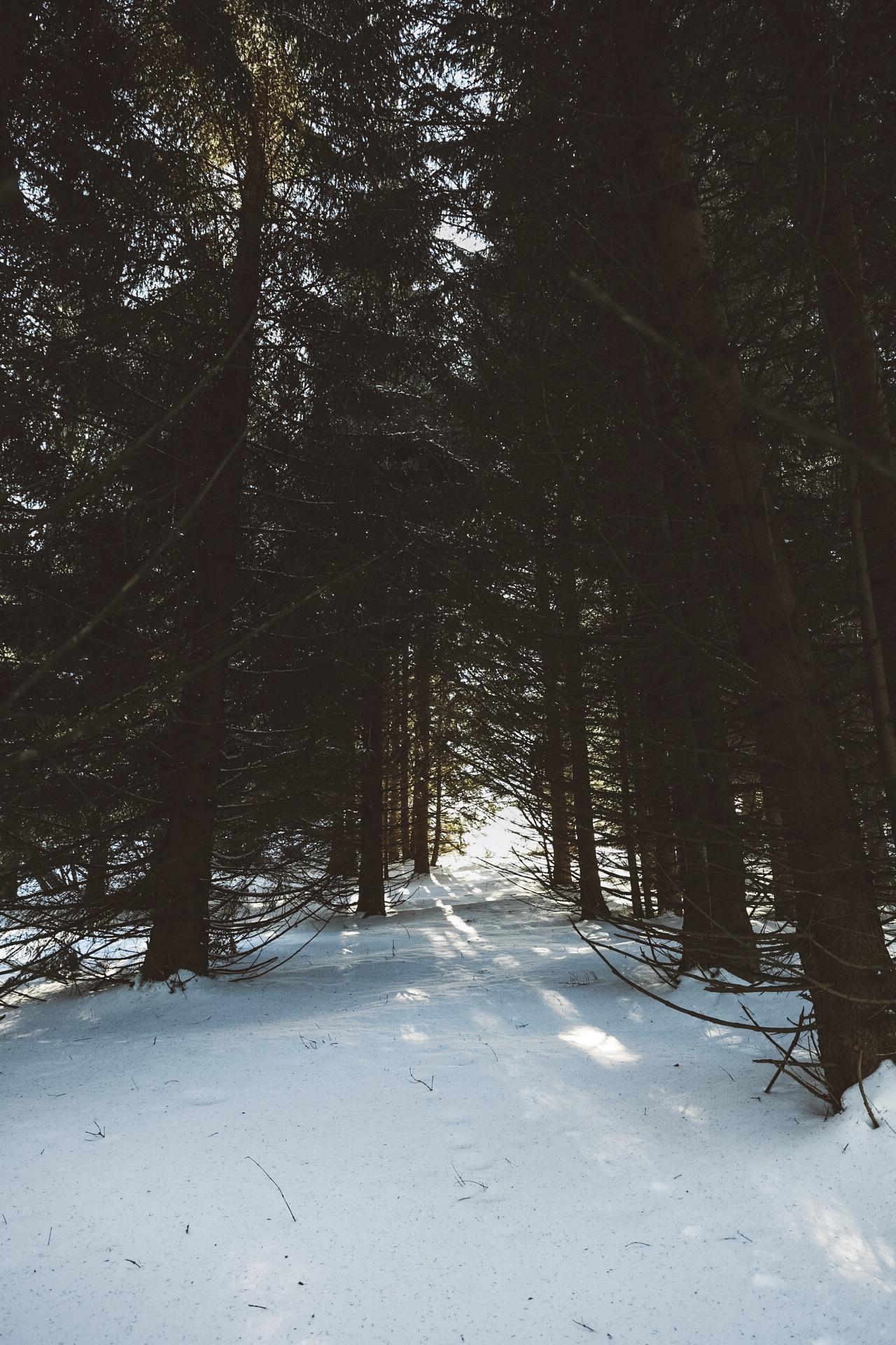 foret de sapin dans la neige